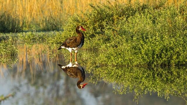 Zdjęcia: Savute, Delta Okavango, Kaczka w kiczu, BOTSWANA
