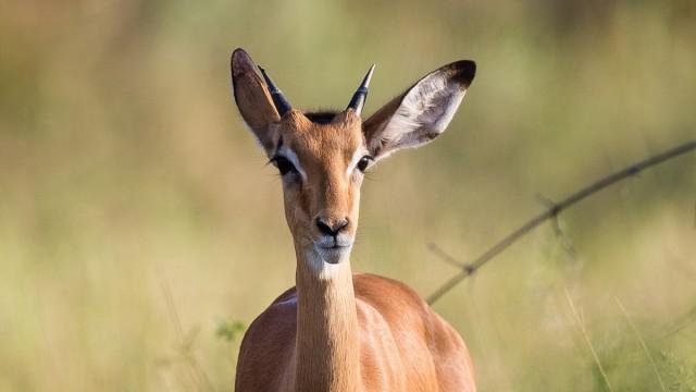 Zdjęcia: Savute, Okavango Delta, Impala w Okavango, BOTSWANA