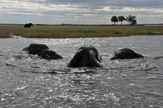 Zdjęcia: Park CHOBE, przeprawa słoni przez rzekę Chobe, BOTSWANA