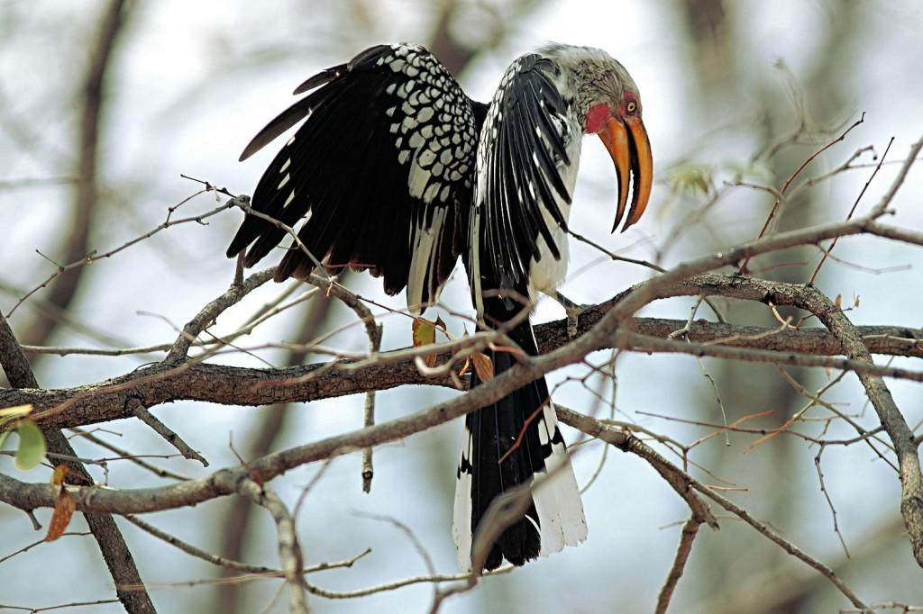 Zdjęcia: Botswana, Rozgniewany, BOTSWANA