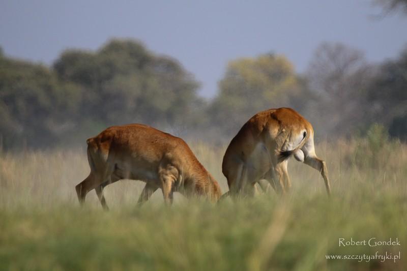 Zdjęcia: Delta Okavango, Delta Okavango, Walka, BOTSWANA
