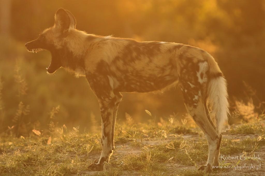 Zdjęcia: Moremi Game Reserve, Moremi Game Reserve, Krzyk, BOTSWANA