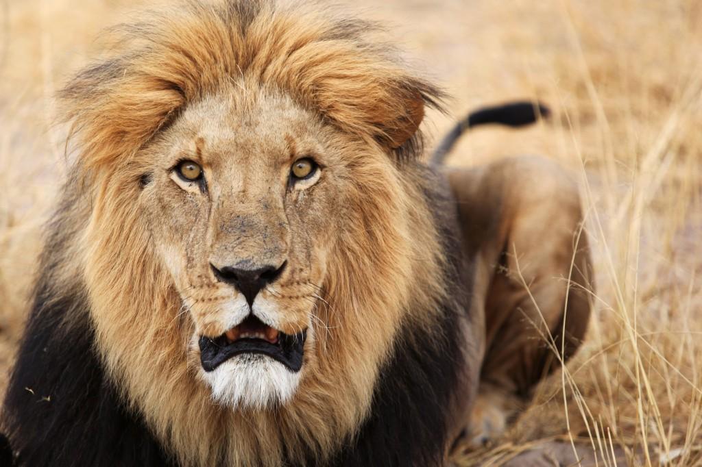 Zdjęcia: Kalahari, Kalahari, lwy, BOTSWANA