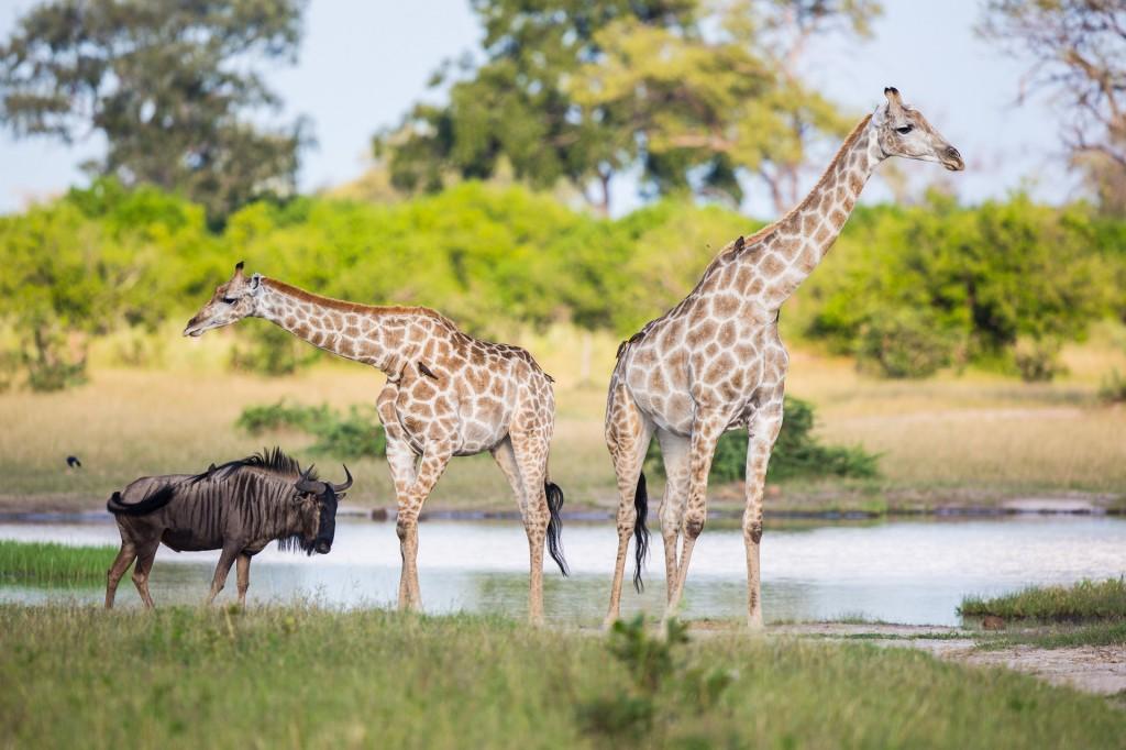 Zdjęcia: Savute, Delta Okavango, Kopytne na plotkach, BOTSWANA