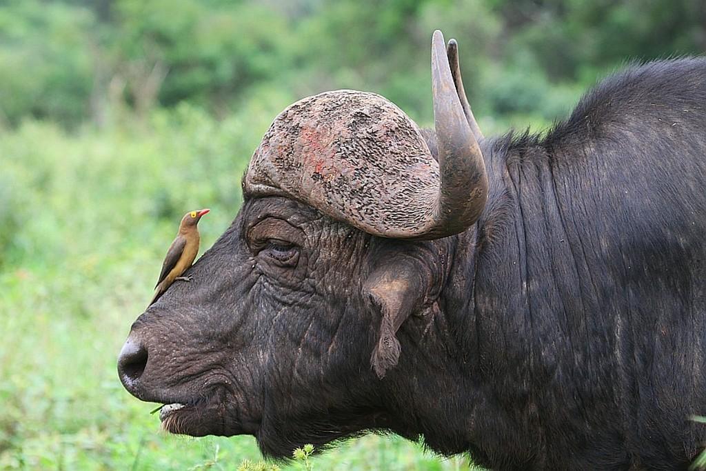 Zdjęcia: Chobe, Chobe National Park, Bąkojad vs bawół, BOTSWANA