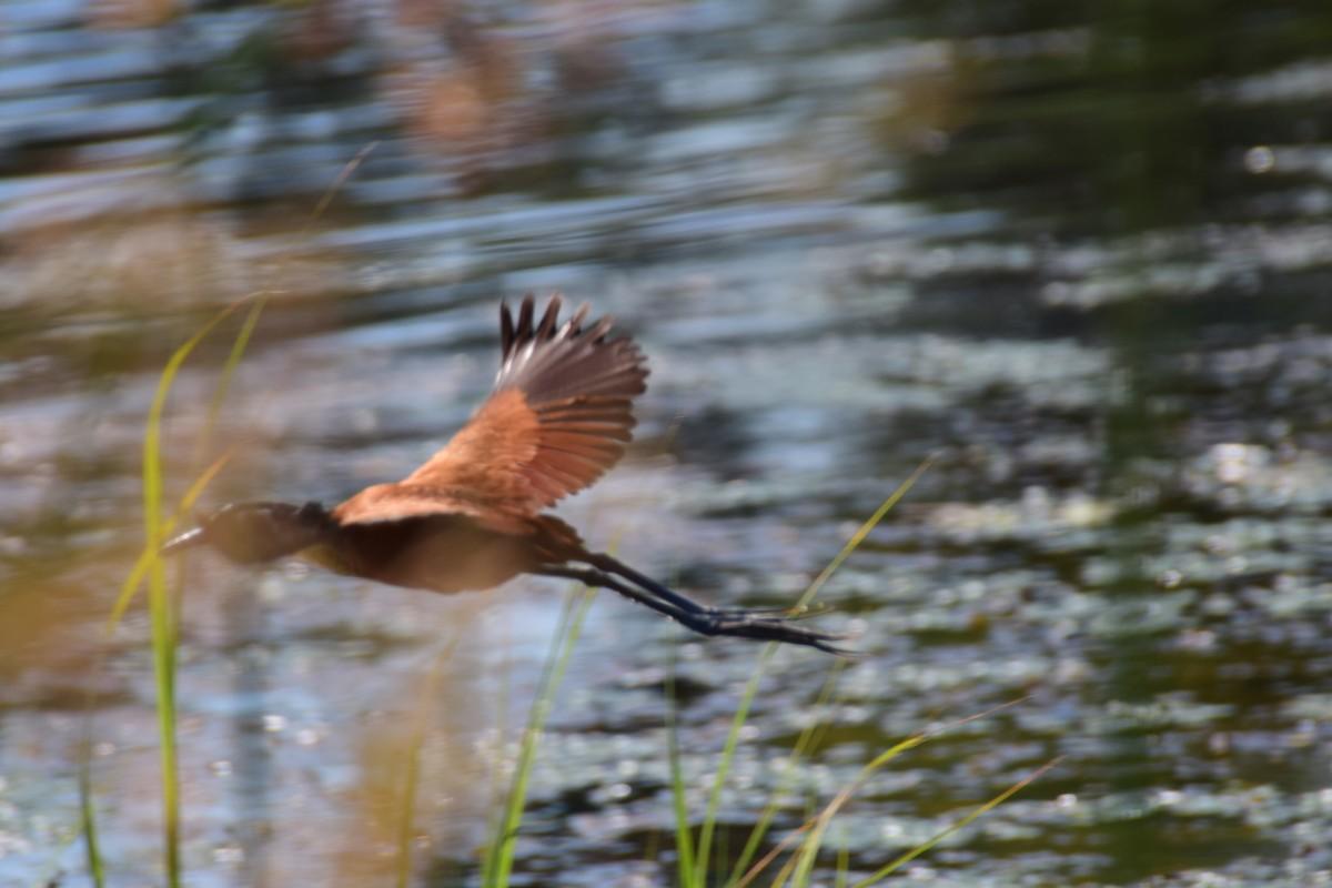 Zdjęcia: Delta Okavango, Płn. Botswana, Przez trawy, BOTSWANA