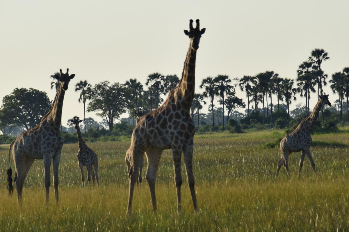 Zdjęcia: Delta Okavango, Płn. Botswana, Jak to żyrafy, BOTSWANA