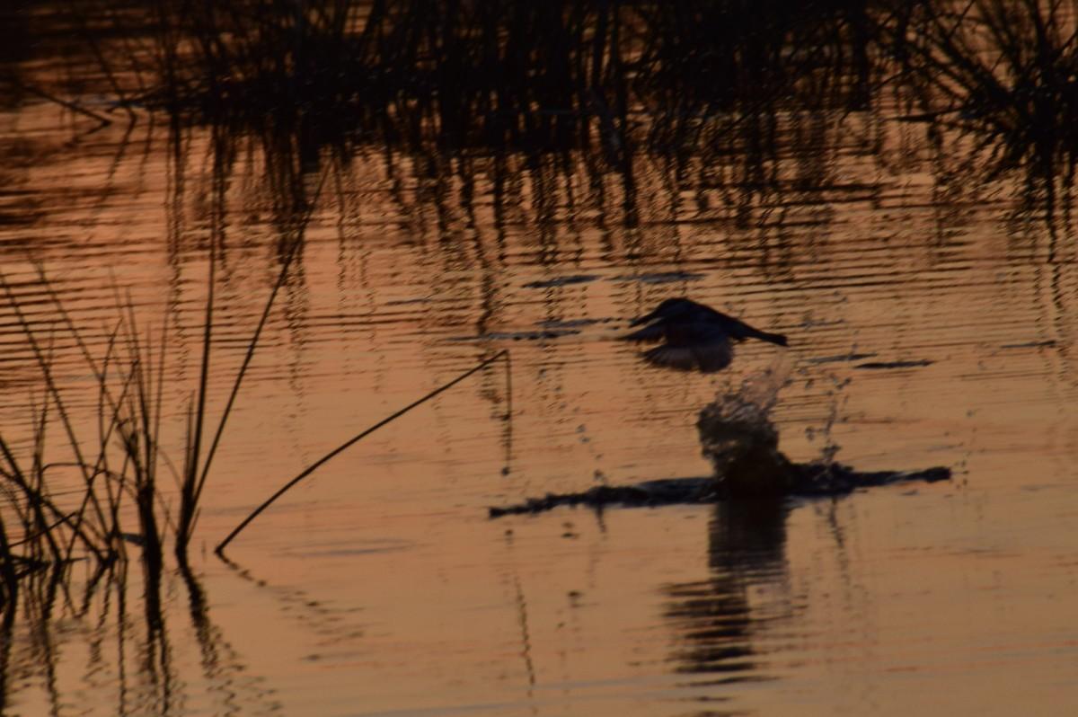 Zdjęcia: Delta Okavango, Płn. Botswana, Zimorodek na polowaniu, BOTSWANA