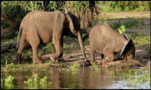 Zdjecie BOTSWANA / Chobe /  Chobe River / Ups... zaryłem