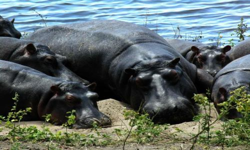 Zdjęcie BOTSWANA / - / Chobe National Park / Hipcie