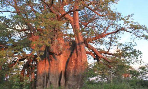BOTSWANA /  -  /  -  / baobab