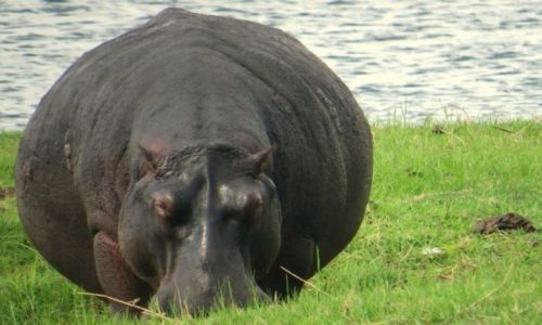 Zdjęcie BOTSWANA / Botswana / Parka Narodowy Chobe / zwierzątka:)