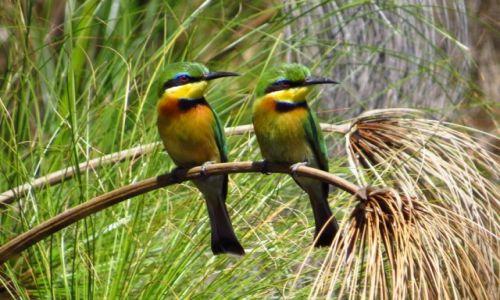 Zdjęcie BOTSWANA / Delta Okawango / Guma Lagoon / Żołny małe