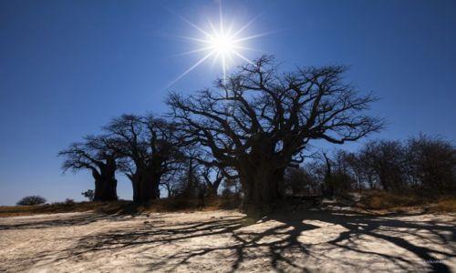 Zdjecie BOTSWANA / Afryka / Park Narodowy / baobaby
