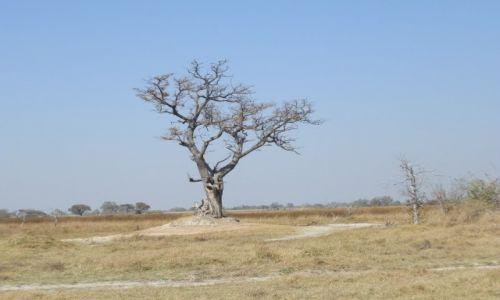 Zdjęcie BOTSWANA / Park Moremi / Moremi / Drzewo
