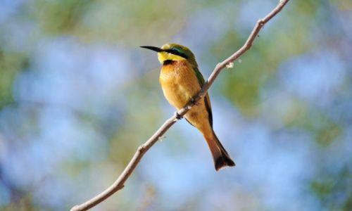 Zdjęcie BOTSWANA / Moremi Game Reserve / Third Bridge / Żołna mała