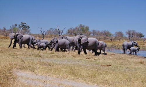 Zdjecie BOTSWANA / Delta Okavango / Moremi Game Reserve / Stado słoni
