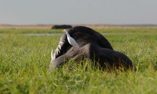Zdjęcie BOTSWANA / - / Park Chobe / Czapla złotawa