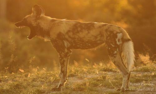 Zdjęcie BOTSWANA / Moremi Game Reserve / Moremi Game Reserve / Krzyk