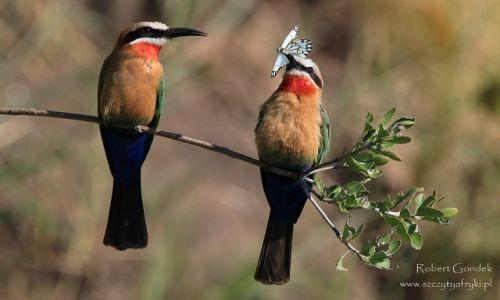 Zdjecie BOTSWANA / Delta Okavango / Delta Okavango / Żołny białoczelne