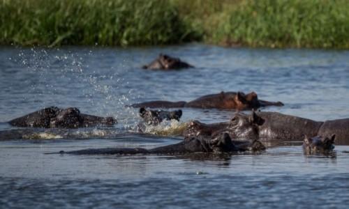 Zdjęcie BOTSWANA / Delta Okavango / Khwai River / Hipo w Delcie O.