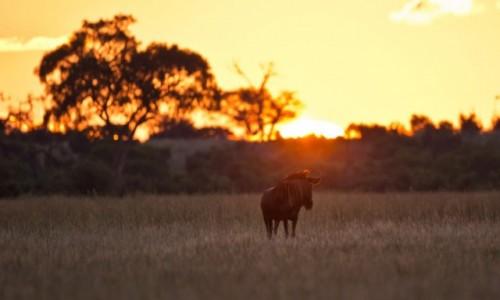 BOTSWANA / Delta Okavango / Khwai River / Zachodzące Gnu