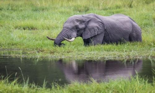 BOTSWANA / Okavango Delta / Khwai River / Slon przed moim domem