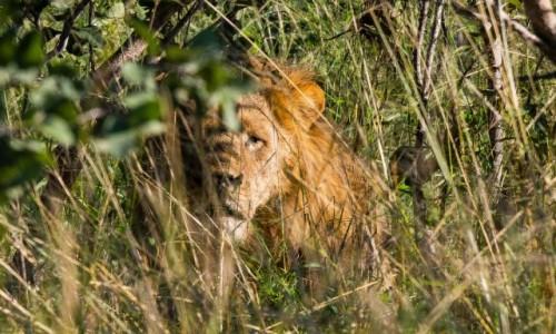 BOTSWANA / Okavango Delta / Savute / Lew z bliznami w ukryciu