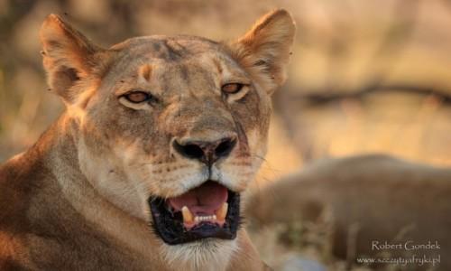 Zdjecie BOTSWANA / Chobe National Park / Chobe National Park / Lwica
