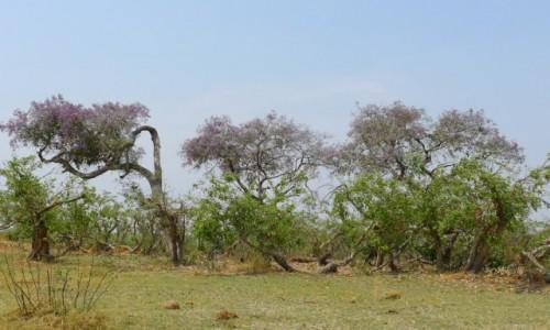 Zdjęcie BOTSWANA / Północna Botswana  / Delta Okawango / Drzewa Okawango