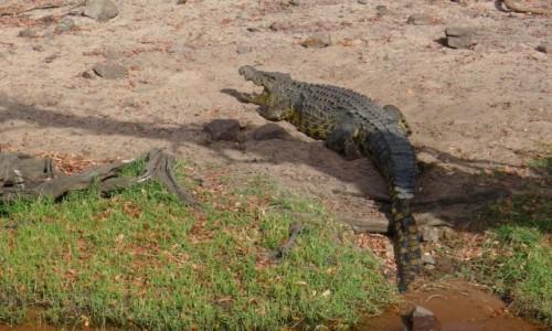 Zdjęcie BOTSWANA / Północna Botswana  / Park Narodowy Chobe / Krokodylek