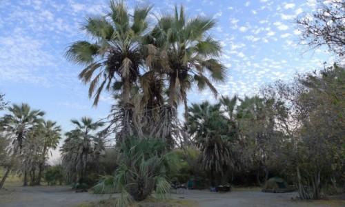 Zdjecie BOTSWANA / Północna Botswana  / Kemping w miejscowości Maun / Kemping wśród palm