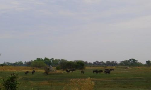 Zdjęcie BOTSWANA / Północna Botswana  / Delta Okawango / Antylopy gnu