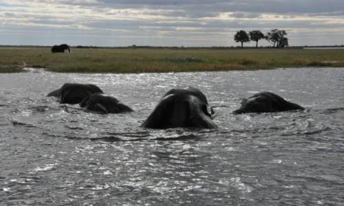 Zdjecie BOTSWANA / - / Park CHOBE / przeprawa słoni przez rzekę Chobe
