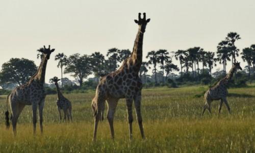 Zdjecie BOTSWANA / Płn. Botswana / Delta Okavango / Jak to żyrafy