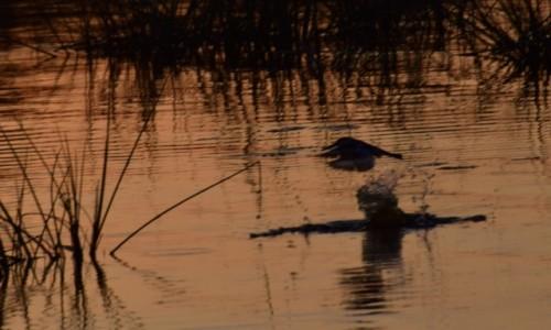 Zdjecie BOTSWANA / Płn. Botswana / Delta Okavango / Zimorodek na polowaniu