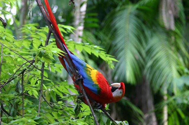 Zdjęcia: puszcza amazońska, Amazonia, ara, BRAZYLIA