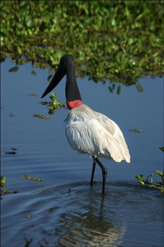 Zdjęcia: Pantanal, Pantanal, jaburu, BRAZYLIA