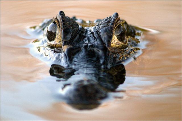 Zdjęcia: Pantanal, Pantanal, kajman, BRAZYLIA
