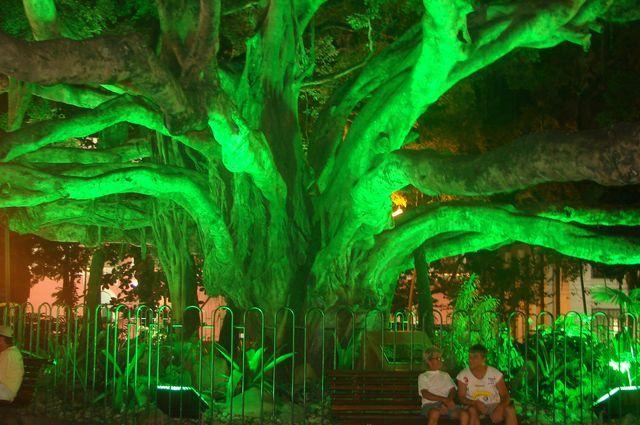 Zdj�cia: Centrum Florianopolis , Stan Santa Catarina, Drzewo figowca, BRAZYLIA