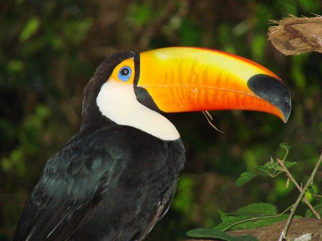 Zdjęcia: Park Ptaków - Foz do Iguacu, Tukan, BRAZYLIA