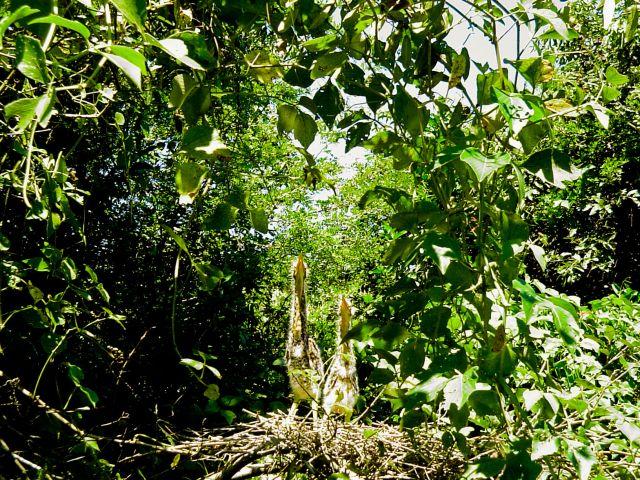 Zdjęcia: Jedna z wielu rzek Panatanalu, Pantanal, Pisklęta Tiger Heron, BRAZYLIA