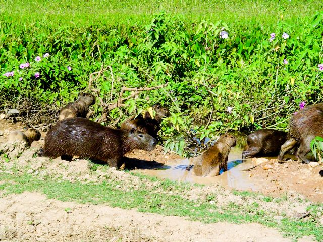 Zdj�cia: Pantanal, Pantanal, Kapibary, BRAZYLIA