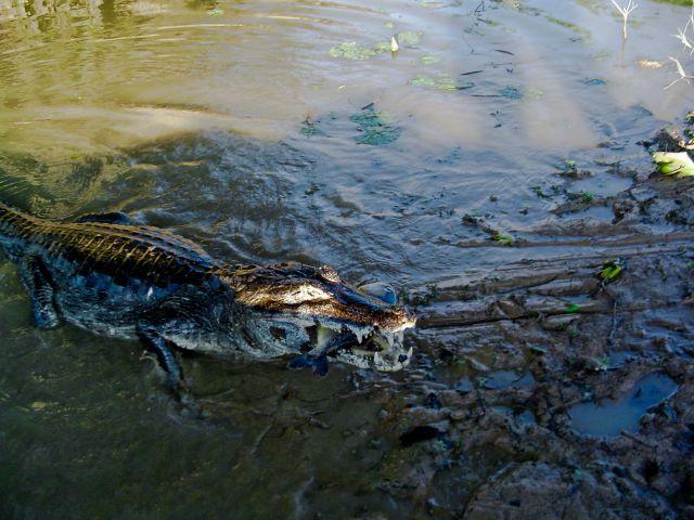 Zdjęcia: Pantanal, Pantanal, Drapieżca zjada drapieżcę, BRAZYLIA