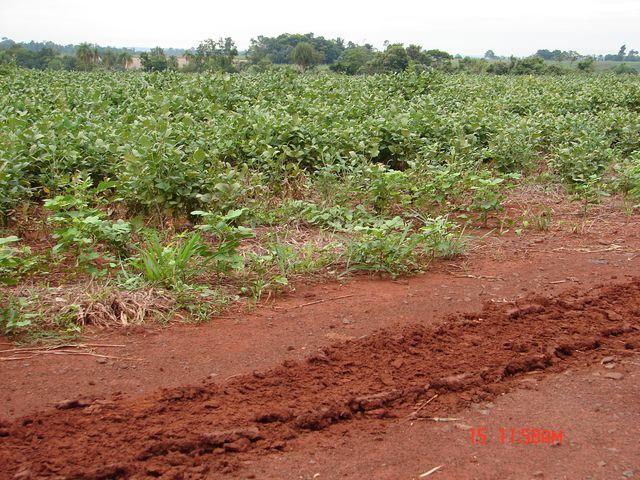 Zdjęcia: przy granicy z Paragwajem, przy granicy z Paragwajem, plantacja - soja, BRAZYLIA