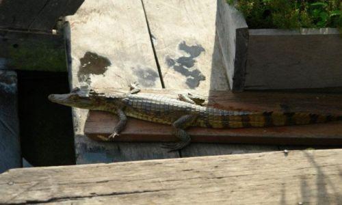 Zdjecie BRAZYLIA / Amazonia / Manaus / Spotkanie z krokodylkiem