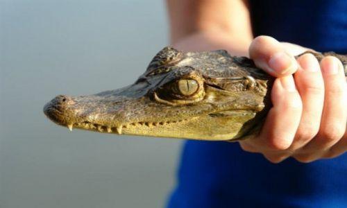 Zdjecie BRAZYLIA / Amazonia / Manaus / Krokodajl:)
