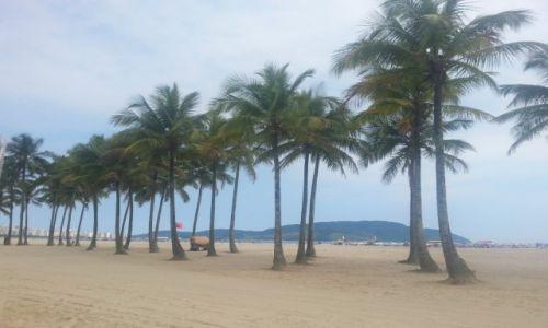 Zdjecie BRAZYLIA / São Paulo / São Vicente / Palmtree