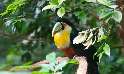 Zdjęcie BRAZYLIA / Foz do Iguazu / jw / Tukan też jakby