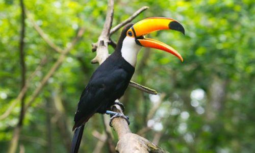 Zdjęcie BRAZYLIA / Foz do Iguazu / jw / A ja Was tak jeszcze raz tukanem... ciach...
